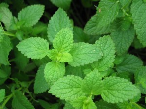 145534 850x638r1 peppermint 300x225 - How To Clean Your Lungs Naturally