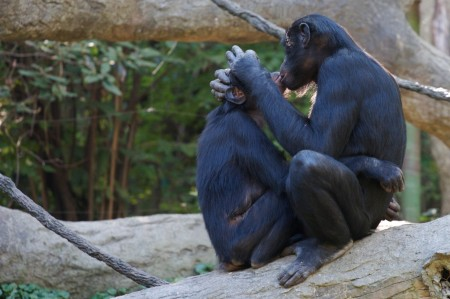 bonobo hd 1 450x299 1 - Does Homosexuality Exhibits In Animals?