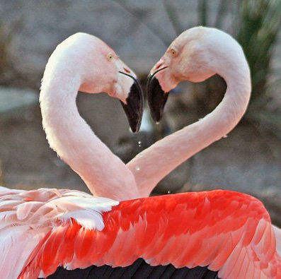flamingos 1 - Does Homosexuality Exhibits In Animals?