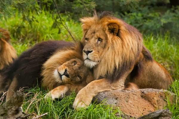 gaylions 1 - Does Homosexuality Exhibits In Animals?