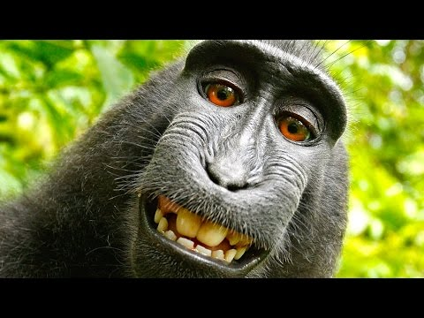 hqdefault9 - Monkey should get rights to his selfies taken by him, says PeTA