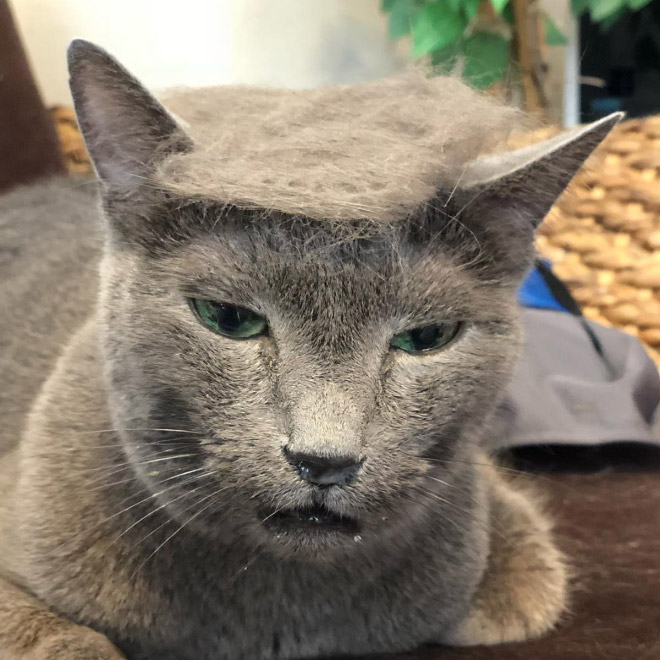donald trump cat10 - Funny Instagram Trend-Style Your Cat Like Donald Trump
