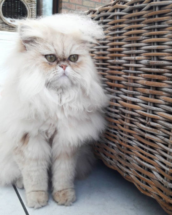 donald trump cat12 - Funny Instagram Trend-Style Your Cat Like Donald Trump