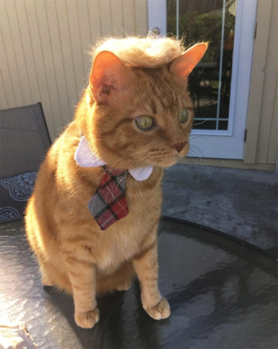 donald trump cat20 - Funny Instagram Trend-Style Your Cat Like Donald Trump
