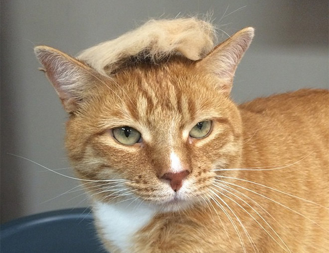 donald trump cat3 - Funny Instagram Trend-Style Your Cat Like Donald Trump