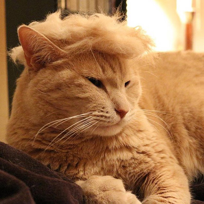 donald trump cat4 - Funny Instagram Trend-Style Your Cat Like Donald Trump