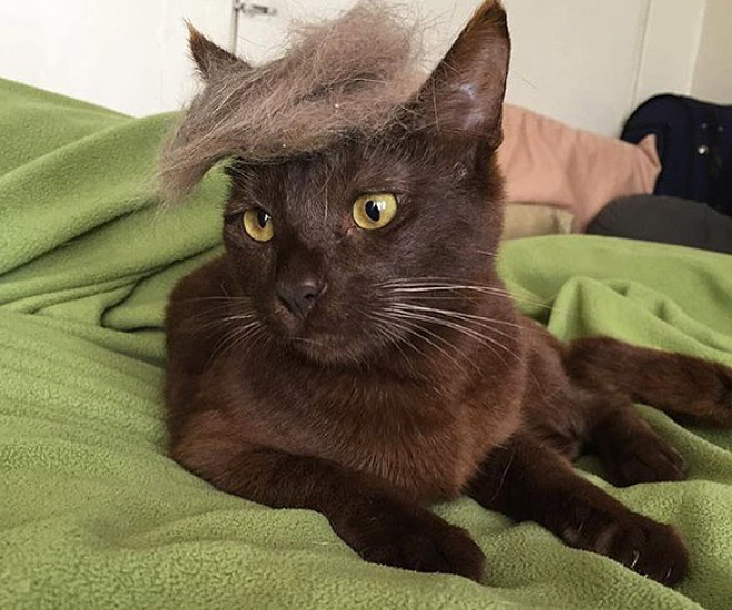 donald trump cat6 - Funny Instagram Trend-Style Your Cat Like Donald Trump