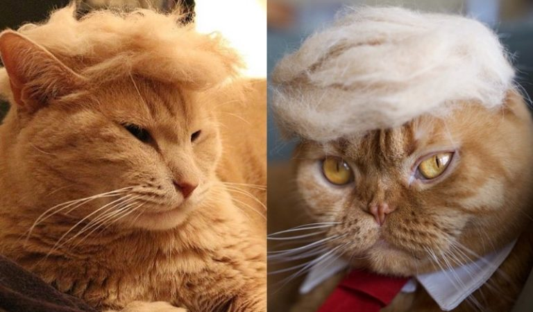 trump cats 768x450 - Funny Instagram Trend-Style Your Cat Like Donald Trump