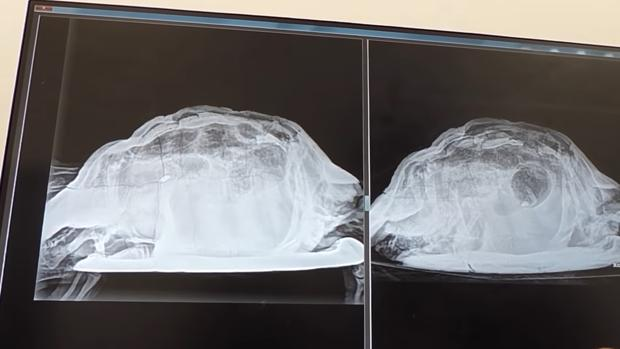 islas canarias sucesos kwPG 620x349@abc - Doctors In Spain Find A Turtle Inside Woman's Vagina After Having Pain